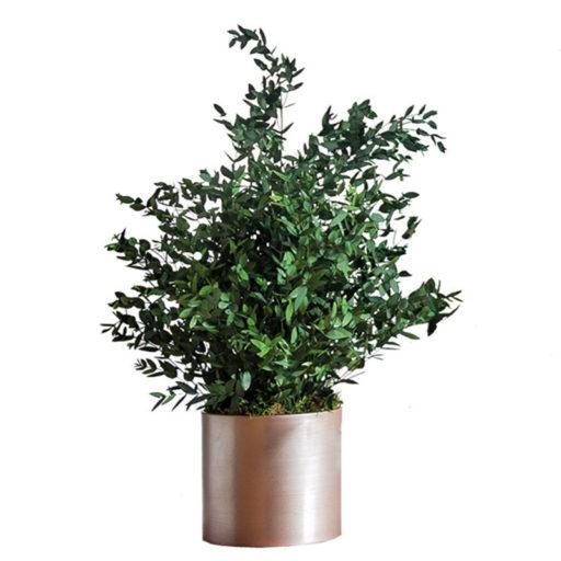 Topfpflanze Amelia clever mieten statt kaufen