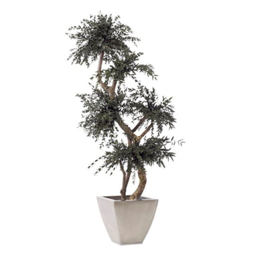 Parvifoliabaum Yang clever mieten statt kaufen