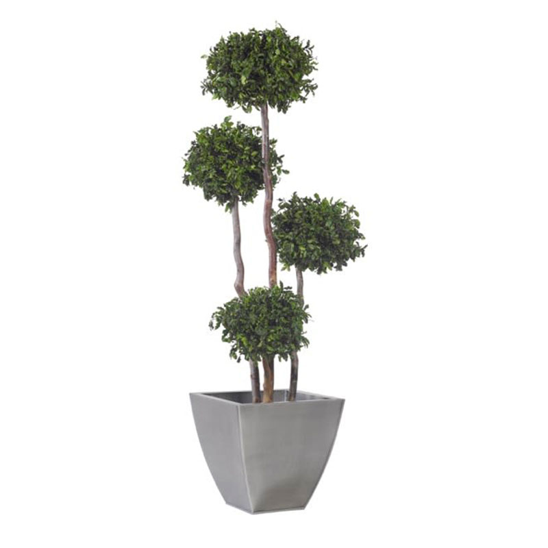 Thujabaum Zen clever mieten statt kaufen