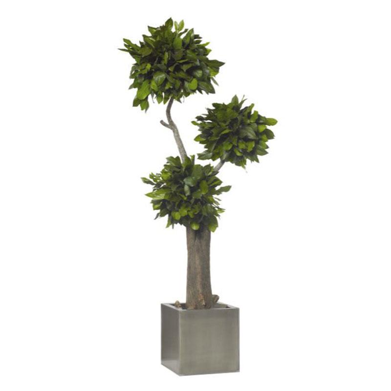 Exoticbaum Colo clever mieten statt kaufen